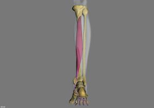 flexor difitorum longus