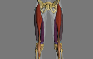 quadriceps ex